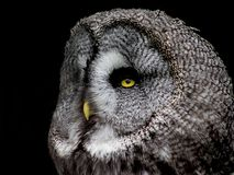 The majestic Great Grey Owl stock image