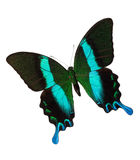 Majestic Green Swallowtail Stock Photo
