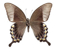 Majestic Green Swallowtail Butterfly. [Papilio blumei] lower stock images