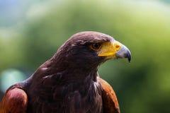 Majestic Harris Hawk. Close-up portrait of a majestic Harris Hawk Stock Photo