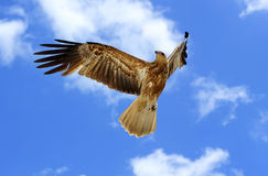Majestic Hawk Royalty Free Stock Images