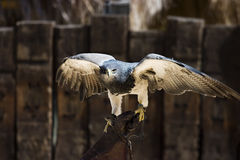 Majestic Hawk. Hawk in a training center of a zoo Royalty Free Stock Photo