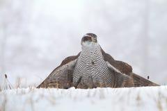 Majestic hawk Royalty Free Stock Photo