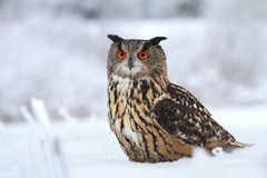 Majestic horned owl Stock Photography