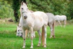 Majestic horses undrer rain Royalty Free Stock Images