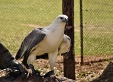 A majestic huge White bellied sea eagle Haliaeetus leucogaster sitting on the hand. In Sunshine Coast, Queensland, Australia stock photos