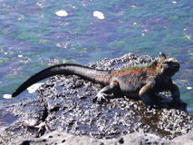 Majestic Iguana Royalty Free Stock Photos