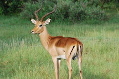 Majestic Impala Buck Royalty Free Stock Images