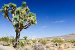 Majestic joshua tree Stock Photo