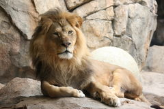 Majestic King of the Jungle Royalty Free Stock Photos