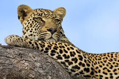 Majestic Leopard. Male Leopard resting on a branch, Sabi Sands Private Game Reserve, South Africa royalty free stock photo
