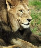 Majestic lion Royalty Free Stock Photos