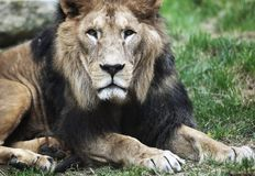 Majestic lion Royalty Free Stock Images