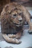 Majestic lion. Close-up portrait of a majestic lion(Panthera Leo Royalty Free Stock Image
