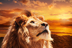 Majestic lion. Beautiful majestic lion looking up into a sunset sky Royalty Free Stock Image