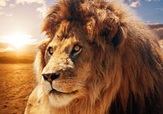 Majestic lion. Beautiful majestic lion looking up into a sunset sky Stock Photography
