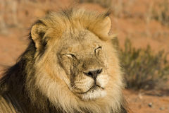 Majestic Lion. Majestic Male Lion resting in the sun Royalty Free Stock Photos