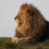 Majestic lion. A majestic lion surveying his territory royalty free stock photo