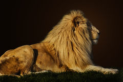 Majestic lion. Majestic king lion side profile stock photo