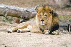 Majestic Lion. African black maned lion laying at the Denver Zoo Royalty Free Stock Image