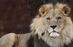 Majestic Lion. Male Lion Royalty Free Stock Photography