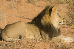 Majestic Lion. Majestic Male lion resting in the sun royalty free stock photo