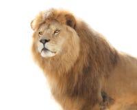 Free Majestic Lion Royalty Free Stock Photo - 73488855