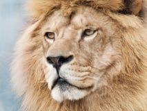 Majestic lion. Close-up portrait of beautiful male lion royalty free stock photo