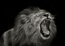 Majestic lion Royalty Free Stock Photography