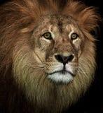 Majestic lion Stock Image