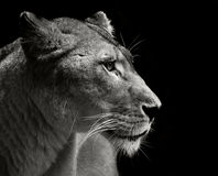 Majestic lion. Close up portrait of a fantastic lion stock photos