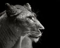 Majestic lion Stock Photos