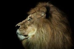 Majestic lion Royalty Free Stock Image