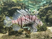 Majestic lion fish Stock Photo