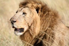 Majestic lion head in the grass. In the Masai Mara Reserve in Kenya royalty free stock photography