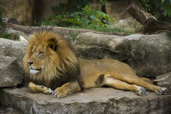 Majestic Lion. Laying on Rock Formation stock image