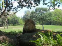 Majestic Lion. A majestic Lion looking on in a relaxed state under the shade in a safari zoo setting stock images