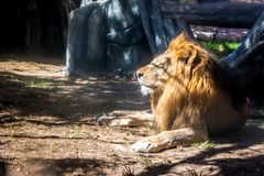 Majestic lion lying down looking at the horizon during sunset in the jungle royalty free stock photography