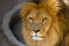 Majestic lion male with golden mane Close up. Majestic lion male with a golden mane close up royalty free stock photo