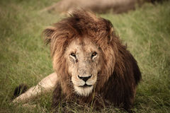 Majestic Lion. Male Lion in Kenya, Africa Stock Images