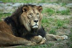 Majestic lion (Panthera leo). Lying on the ground, resting Royalty Free Stock Photos