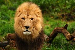 Majestic lion portrait Royalty Free Stock Photos