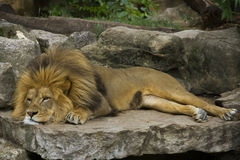 Majestic Lion Resting. On Rock Formation royalty free stock photo