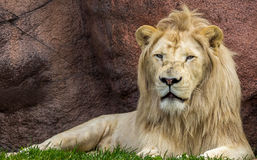 Majestic lion. A majestic lion rests in the hot afternoon sun at the zoo stock photography