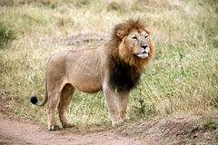 Majestic lion standing in the grass. In the Masai Mara Reserve in Kenya royalty free stock photos