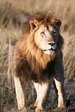 Majestic lion standing in the grass plains. Of the Masai Mara Reserve in Kenya royalty free stock image