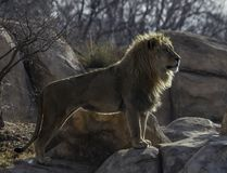 Majestic lion standing on the rock. In Denver Zoo stock photo