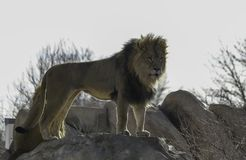 Majestic lion standing on the rock. In Denver Zoo stock photography