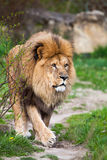 Majestic lion walking Stock Photography
