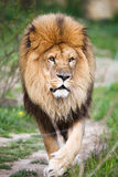 Majestic lion walking. Down the path stock photo